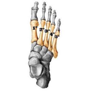 Anatomía Metatarso