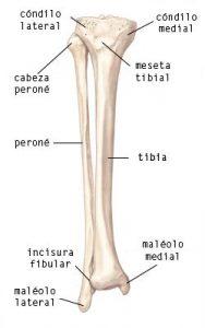 anatomía tibial